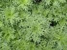 Artemesia 'Tiny Green'