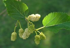 """Red Mulberry ( Morus rubra ) Great photo from Missouri Permaculture Note how the """"red"""" mulberry fruit really turns dark purple when . Ficus, Mulberry Fruit, Mulberry Leaf, Windbreak Trees, Garden Trees, Apple Acid, Vida Natural, Palmiers, Tree Seeds"""