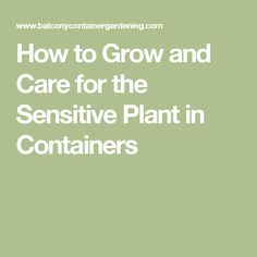 How to Grow and Care for the Sensitive Plant in Containers