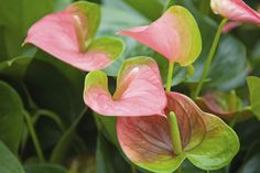 Changing Anthurium Color: Reasons For An Anthurium Turning Green - Anthurium plants produce hues of red, yellow and pink. Additional colors include green and white, scented lavender and a deeper yellow colored spathe. When anthurium flowers turn green, it may be species or it may be age or incorrect cultivation. Click here for more info.