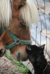 Britney: Miniature Horse, Miniature Horse; Oakdale, CA