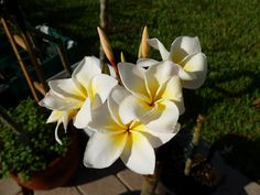 Plumeria. If I can keep it going, this is what my plumeria plant will put out!