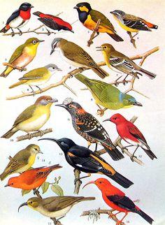Bird Print Wood Warbler Ovenbird Bananaquit by mysunshinevintage