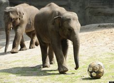 Elephants 'Shahrukh' (R) and 'Shanti'play with a ball at Hagenbecks Tierpark in Hamburg, northern Germany, on June 8, 2012.