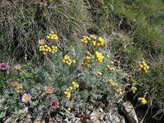 Artemisia glacialis Glacier Wormwood. ... CONDIMENT ... from plants!