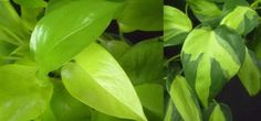 The difference between a pothos (Epipremnum aureum) and heart-leaf philodendron (Philodendron hederaceum)