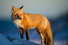 Look Into the Sun   This handsome Red Fox stopped for just a…   Flickr