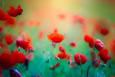Poppies by Olivier Ferrari on