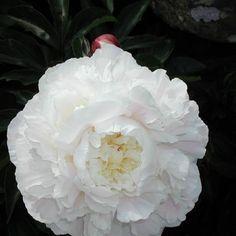 Luktpion | Blomsterlandet.se Shirley Temple
