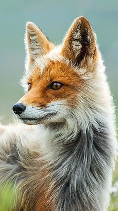 The Red Fox is a disciplined creature of the north western hemisphere. Sharing a close relation to dogs foxes are similar except for the fact that they are not as social. You can actually buy pet foxes as babies. Happy Animals, Animals And Pets, Cute Animals, Tier Wallpaper, Animal Wallpaper, Socializing Dogs, Scary Dogs, Fennec Fox, Pet Fox