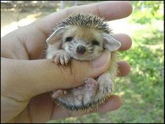 Hedgehogs. They are just adorable :)