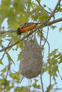 I Want To Attrack Orioles To My Yard Never Will Forget