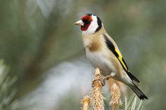 fotograaf pieter b j van den berg > pieterbj Bird Wings, Beautiful Birds, Feathers, Watercolor, Landscape, Animals, Goldfinch, Birds, Swan
