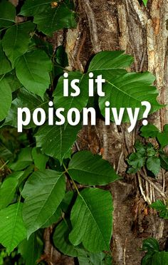 Dr Oz quizzed viewers about common skin conditions such as Poison Ivy, Psoriasis, and Impetigo. How do you get them, and which ones are contagious? Psoriasis Symptoms, Psoriasis Cure, Dr Ozz, Health Diet, Health And Wellness, Poison Ivy Plants, Dr Oz Show, Body Hacks, Natural Solutions
