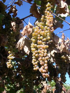 Late Harvest for production of Soave Classico Le Bine Longhe, a intense and crisp wine