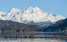 22 eagles and one photographer, Alaska. Nikon D4, Sigma 50-500mm F4.5-6.3 APO DG OS HSM, handheld, 1/1600th s, f8, at 140mm, ISO 640, Dynamic-area AF, 51 point 3D. Hand-held. Image copyright 2013 Robert OToole Photography