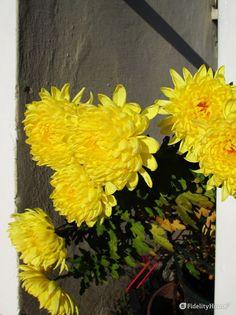 Un fiore dedicato ai morti, almeno qui, in Italia, e probabilmente proprio per la coincidenza del loro fiorire con i nostri cari.
