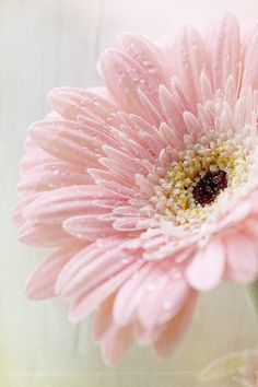 Pink Gerbera Daisy (By Ofelia)