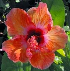 Hibiscus plants are members of the Malva family. Countless hybrids have been created showing one or several colors in one hibiscus flower. It is not difficult to care for hibiscus plants as long as some guidelines are followed.