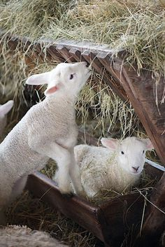 Two little lambs living the sweet country life