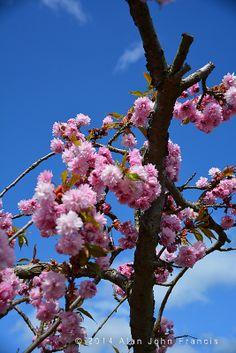 Pink Blossom 85/365