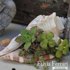 Plantas suculentas são muito resistentes e podem ser colocadas até um conchas para um efeito ornamental