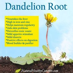 Dandelion Root Health Benefits I have used Dandelion Root tea for many years now One cup a day is all you need It is expensive and as a result you will look at the dandel. Lemon Benefits, Matcha Benefits, Coconut Health Benefits, Natural Cures, Natural Health, Dandelion Root Tea, Dandelion Benefits, Tomato Nutrition, Gardening