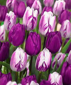 Tulpen Mix 'Purper'  product foto