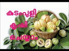 കുടംപുളി കൃഷി    Kudampuli Krishi (Garcinia gummi-gutta)