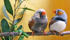 Brain area accounts for bird song 'glitches'