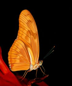 "500px / Photo ""Orange Beauty"" by Harry Eggens In my opinion the Dryas julia is one of the most beautiful longwing butterflies in the world.  Shot taken back in July 2002 on Fuji Velvia ISO 50 slide film scanned with the Nikon Super Coolscan 4000ED Best regards, Harry"
