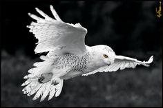 A snowy owl in Vittoria, Ontario Owl Bird, Pet Birds, Lechuza Tattoo, Animals And Pets, Cute Animals, Owl Pictures, Beautiful Owl, Gray Owl, Bird Wings