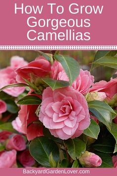 How To Care For Camellias (Camellia Japonica) & Lots Of Gorgeous Pictures Here's how to grow beautiful camellia plants in your garden. The gorgeous camellias come in many gorgeous colors: from pale pinks to red, white and ev. Beautiful Flowers Garden, Pretty Flowers, Colorful Flowers, Beautiful Gardens, Prettiest Flowers, Tropical Flowers, Fresh Flowers, Spring Flowers, Camellia Japonica