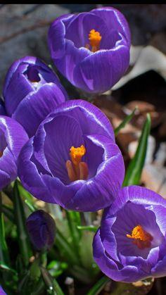 Shining, flowers, close up, crocus, wallpaper Blooming Flowers, Pretty Flowers, Purple Flowers, White Flowers, Online Flower Delivery, Beautiful Birds, Tulips, Planting Flowers, Wallpaper
