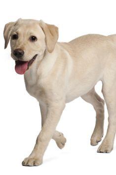 Young Labrador Retriever 4 Months Old Labradorretriever