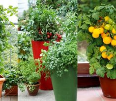 Best Tomato Varieties For Containers