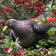 Columba arquatrix (African olive-pigeon, Rameron pigeon)