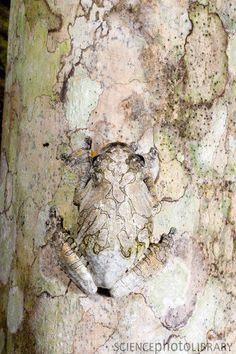 Marbled tree frog (Hyla marmorata), camouflaged against lichen-covered bark. Credit: Gregory Dimijian/ Science Photo Library