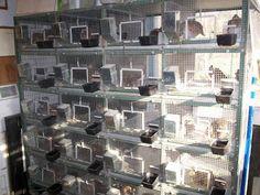 Quail Breeding Pen Plans | quail battery breeding pens jpg quail batteries cages pens breeding ...