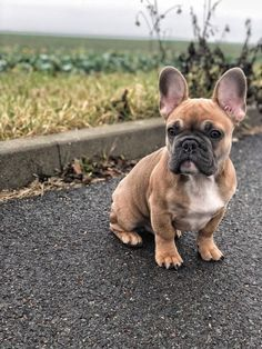 French Bulldog Puppy #bulldogpuppy