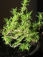 The Herb Gardener: Make Herbal Carpet Deodorant and Freshener