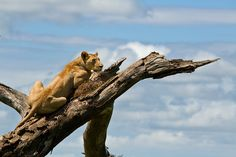 Lioness surveying the scene in Kruger ©Lourens Durand