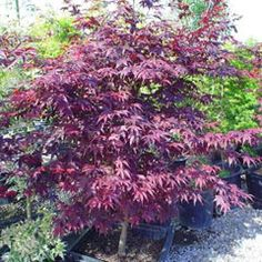 AP 'Emperor 1' is an exceptionally strong upright tree. Holds its color well even in the shade. Leaves are a deep purple-red thru out summer (shown) then become beautiful dark crimson in the fall. This JM grows thin-textured leaves that at times look translucent & glow in the sunlight. 'Emperor I' aka 'Red Emperor' grows  8-10' in 10 years. Discovered & developed by Richard Wolff of Red Maple Nursery in PA. (Planted 2008 in S. MD)