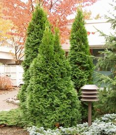 kartiotuija Smaragd Thuja Occidentalis, Plants, Flora, Home And Garden, Evergreen, Garden, Backyard