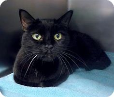 Westampton, NJ - Domestic Shorthair. Meet Sugar Bear 33985777, a cat for adoption. http://www.adoptapet.com/pet/17609847-westampton-new-jersey-cat