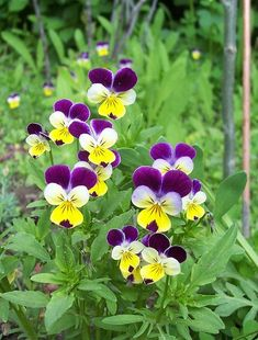 Viola Johnny Jump Up – I have these little guys popping up all over my front yard. They are so cheerful & cute! I try really hard not to mow them down 🙂 Spring Blooms, Spring Flowers, Johnny Jump Up Flowers, Flowers Nature, Wild Flowers, Fleur Pansy, Purple Flowers, Beautiful Flowers, Exotic Flowers