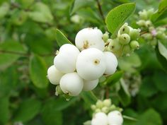 A is for Alba - symphoricarpos alba