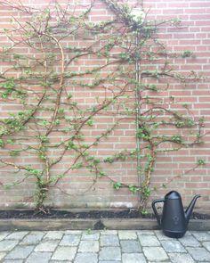 🌿 #garden #tuin #hortensia #klimop #xala #gieter #smallgarden #landelijkwonen #