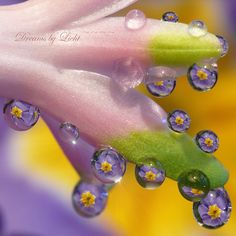 Refractions in waterdrops, primrose waterdrop, colors, licht dew, dew dropin, rain drops, flowers, dewdrop, dew hyacinth, photography