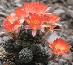 Winter hardy cactus. Grows outdoors in Canada! Rebutia pectinata.
